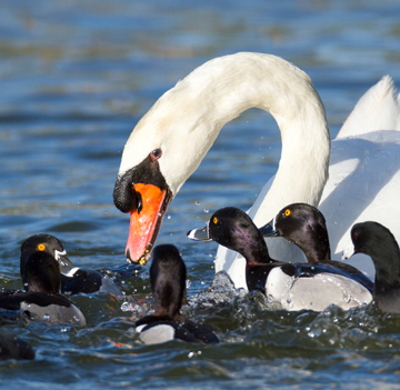 Los cisnes de Lakeland