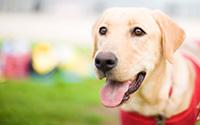 guide dog closeup at park